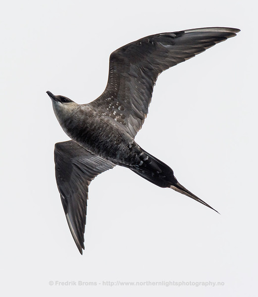 Young Long-tailed Skua, Northern Norway