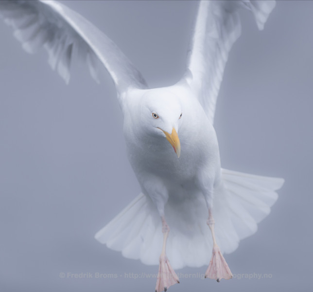 Herring Gull in Foggy Weather, Norway