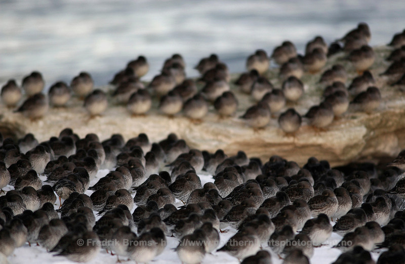 Purple Sandpipers, Norway