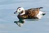 Long-tailed Duck, Female, Norway