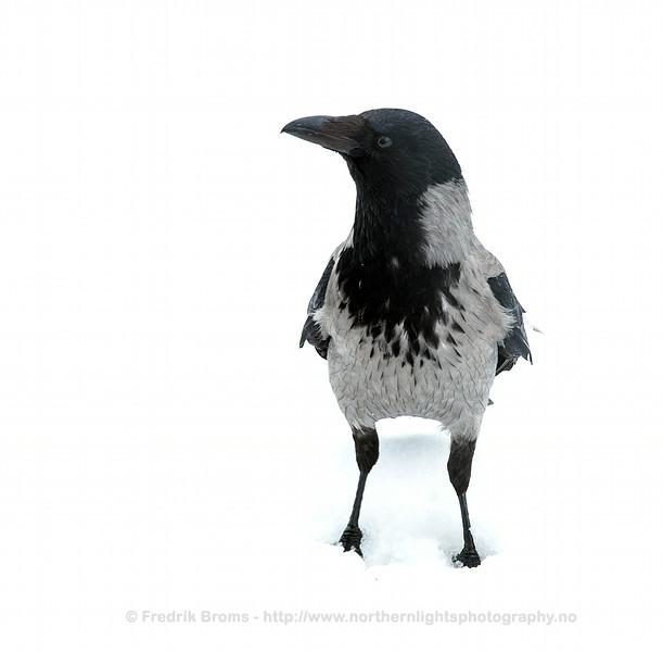 Crow, Norway
