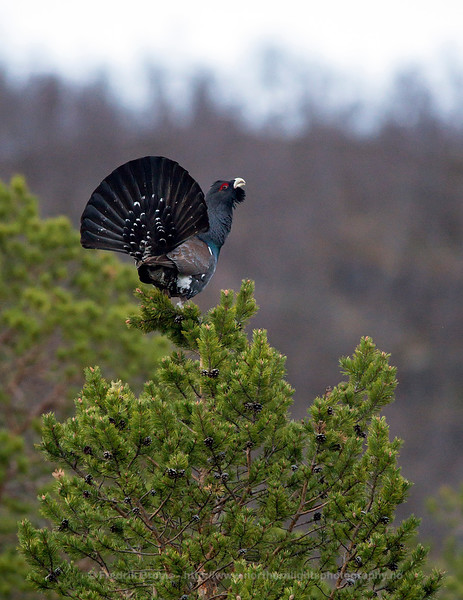 Displaying Capercaillie, Northern Norway