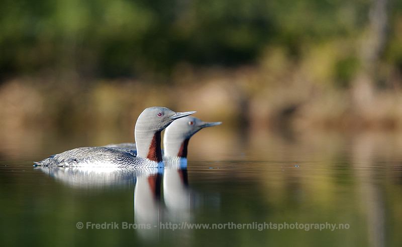 Red-throated Divers in a Tundra Pond, Norway
