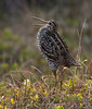 Displaying Great Snipe, Norway