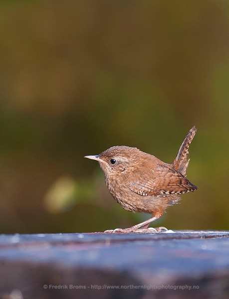 Winter Wren, Northern Norway