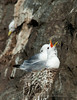 Black-legged kittiwake Pair in breeding colony, Norway