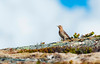 Red-throated Pipit, Norway