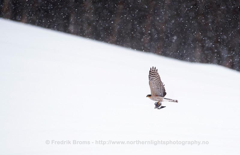 Sparrow Hawk with Prey, Norway