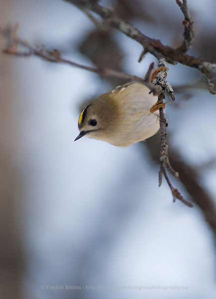 Goldcrest, Norway