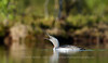 Calling Red-throated Diver, Norway