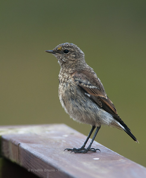 Northern Wheatear, young bird, Iceland