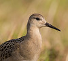 Young Ruff - close-up, Northern Norway