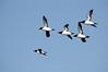 Razorbills, Norway