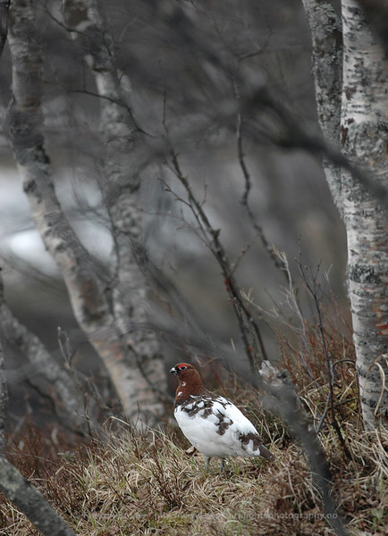 Willow Grouse in Birch Forest, Norway