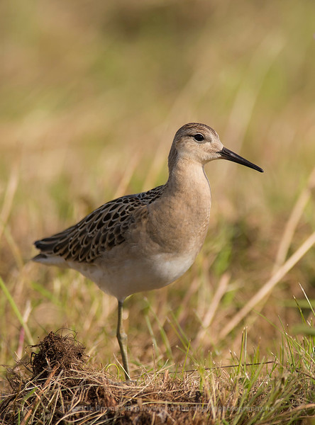 Young Ruff, Northern Norway
