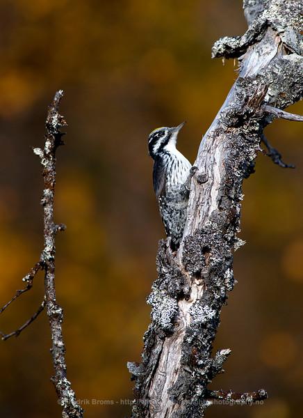 Three-toed Woodpecker, Northern Norway