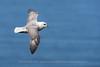 Northern Fulmar in Flight, Iceland