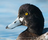 Greater Scaup, Close-up, Norway