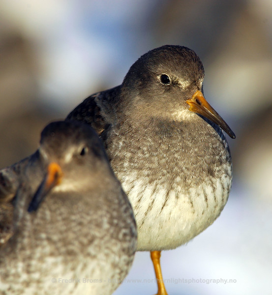 Purple Sandpiper, Norway