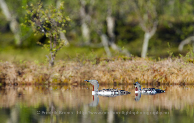 Red-throated divers in the breeding Pond, Norway