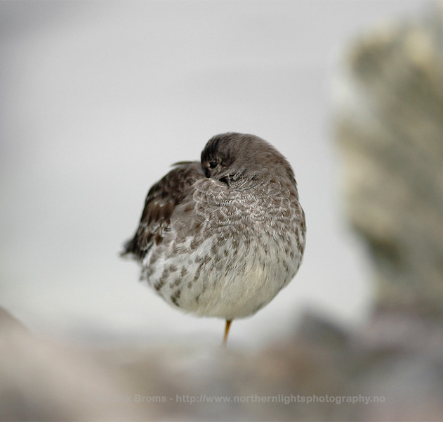 Purple Sandpiper, Northern Norway