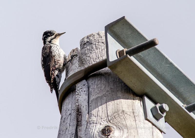 Three-toed Woodpecker, Kvaløya, Norway