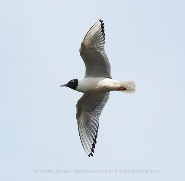 Adult Bonaparte's Gull, Northern Norway