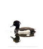 Tufted Duck, Norway