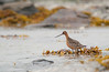 Bar-tailed Godwit, Norway