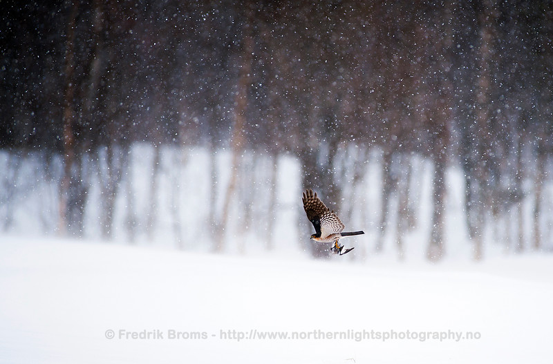 Sparrow Hawk with Snow Bunting, Norway