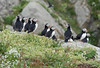 Puffins in Breeding Colony, Norway