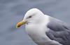 Herring Gull, Norway