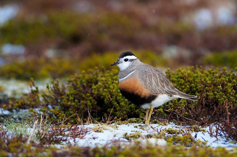 Eurasian Dotterel, Norway