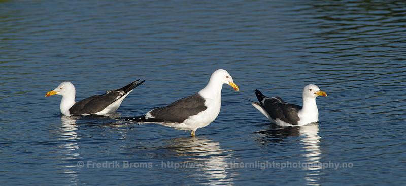 Lesser black-backed Gulls, Iceland