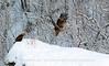 Golden Eagle and White-Tailed Eagle, Kattfjorden, Norway