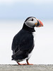 Atlantic Puffin - Close-up, Norway