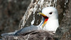 Black-legged Kittiwake, Norway