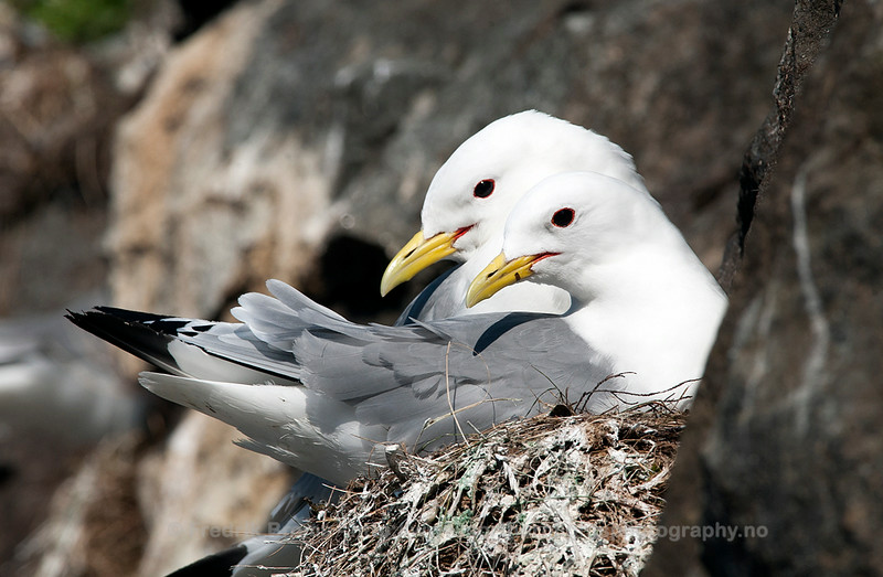 Black-legged Kittiwakes on Nest, Norway