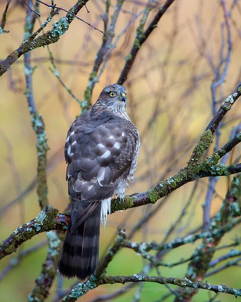 Sparrow Hawk, Kvaløya, Norway