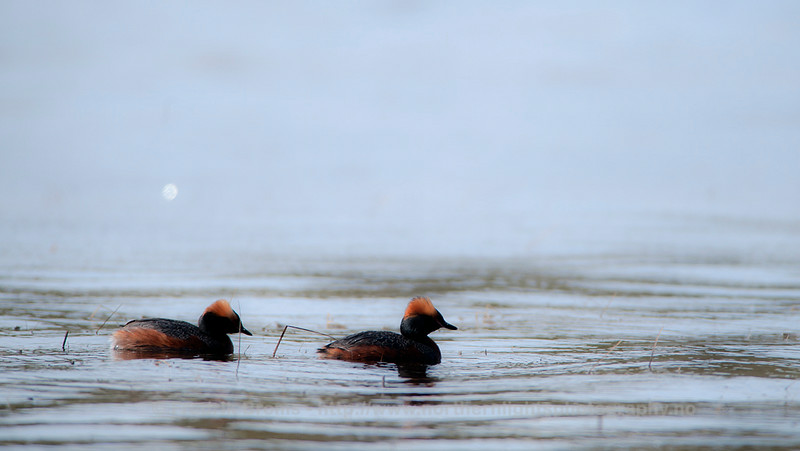 Slavonian Grebes, Norway