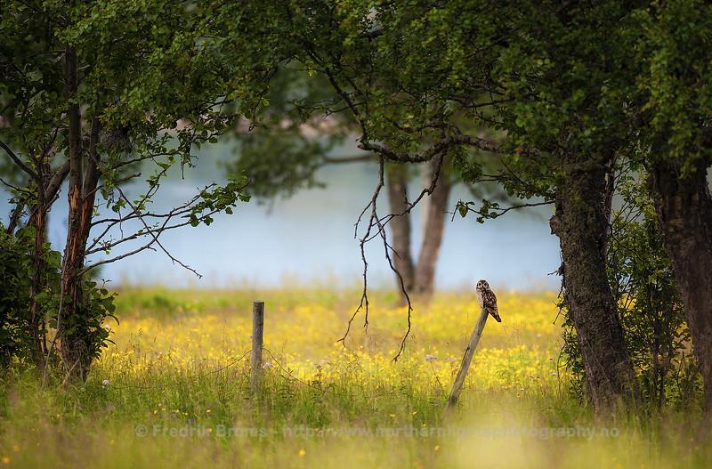 Short-Eared Owl in a Summer Meadow, Norway