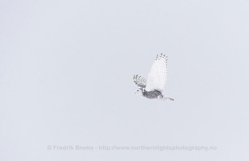 Snowy Owl, Finland