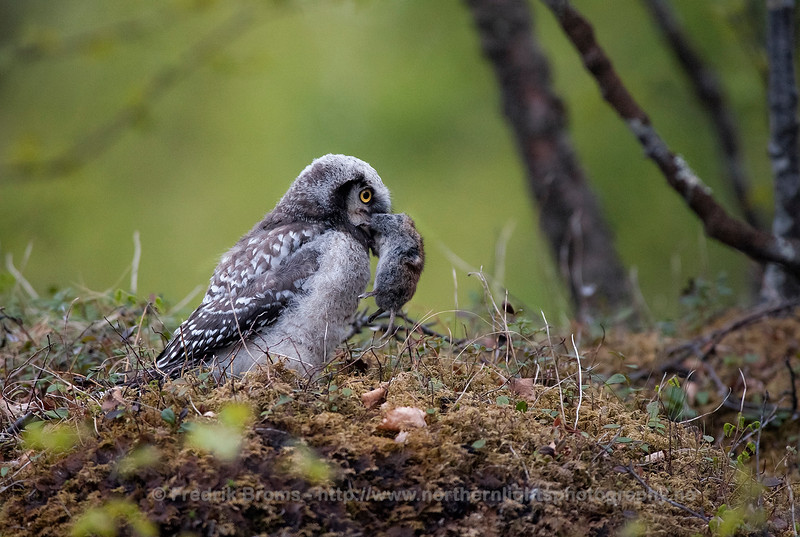 Newly fledged Hawk Owl with a Vole, Northern Norway