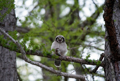Northern Hawk Owl - Haukugle - Surnia ulula