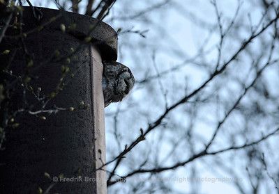 Tengmalms Owl - Perleugle - Aegolius funereus