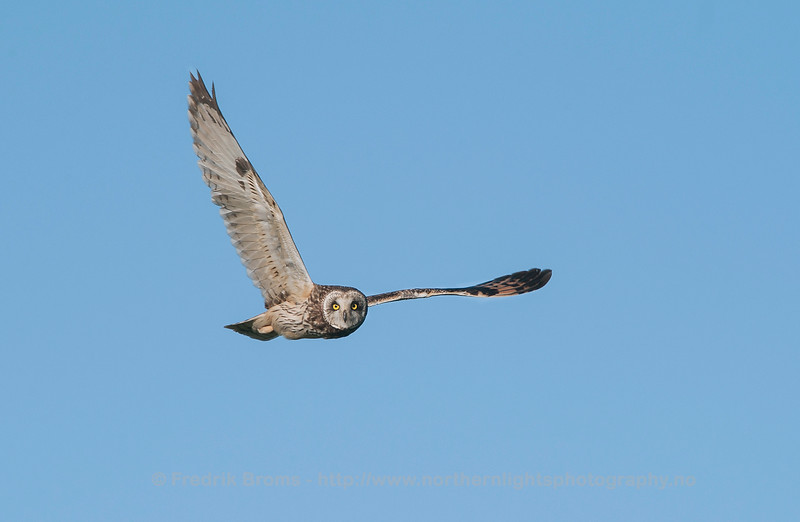 Flying Short-Eared Owl, Norway