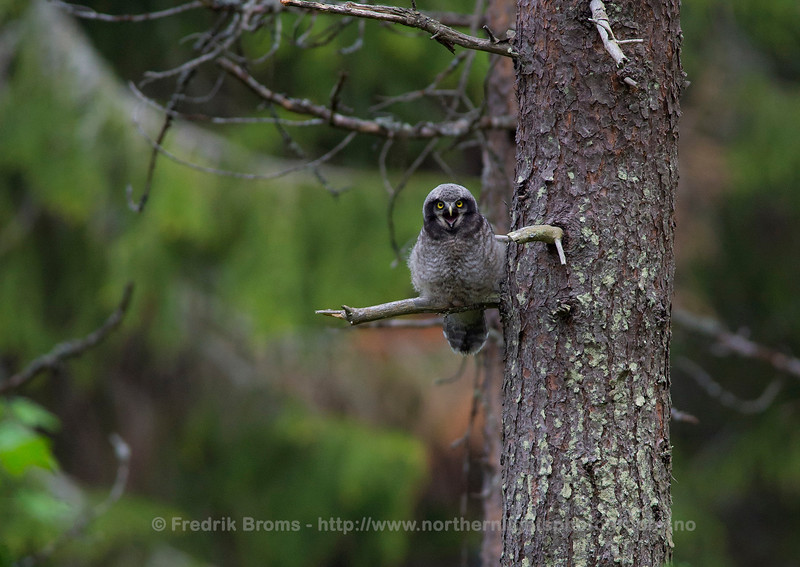 Hawk-Owl Chick begging for Food, Norway