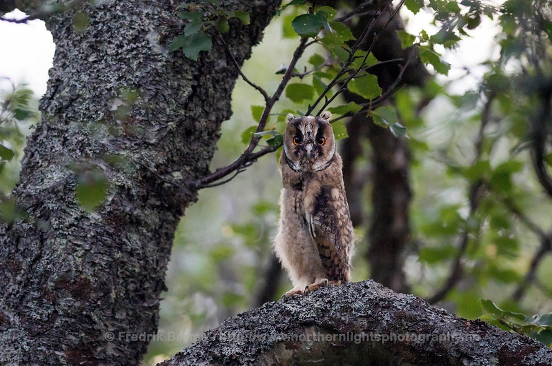 Recently fledged Long-eared Owl, Northern Norway