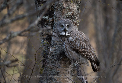 Great Grey Owl - Lappugle - Strix nebulosa