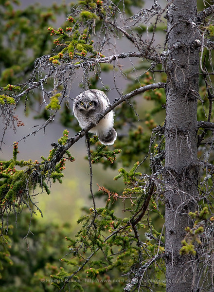 Newly Fledged Hawk Owl, Northern Norway